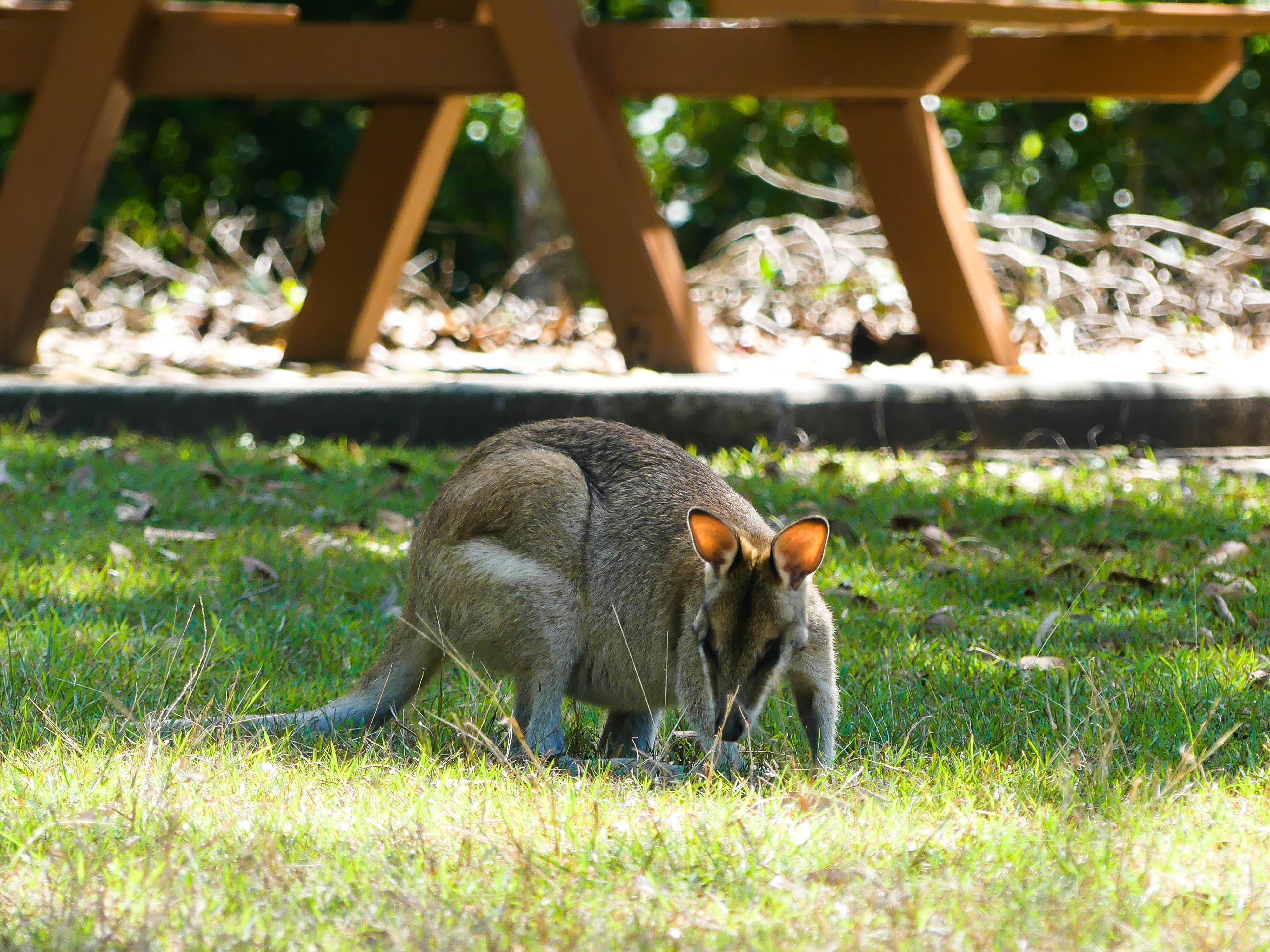 Känguru im Park