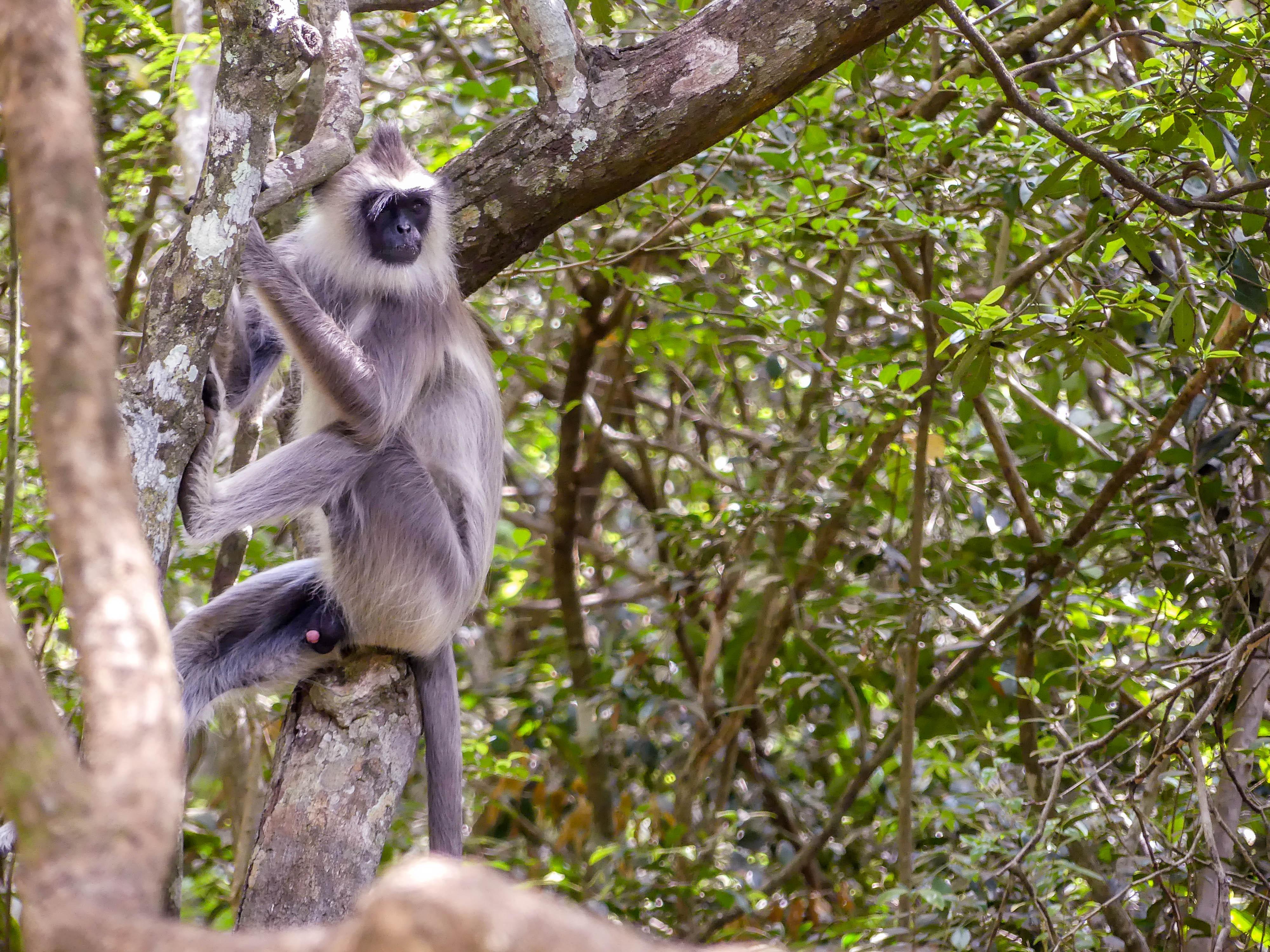 Südlicher Hanuman-Languren