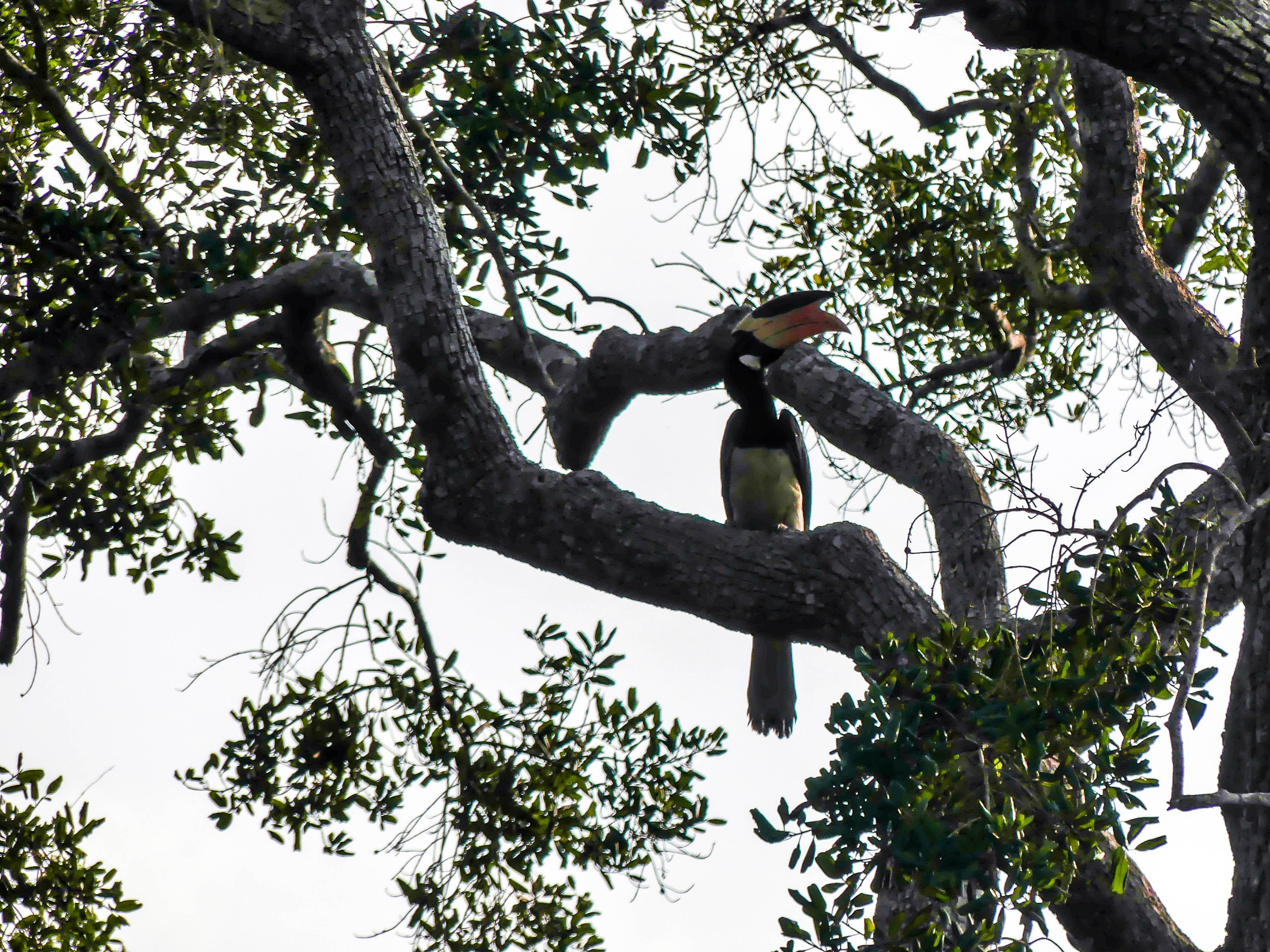 Malabarhornvogel